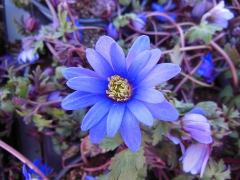 plants flower blue anemone