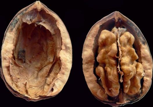 plants nuts walnuts