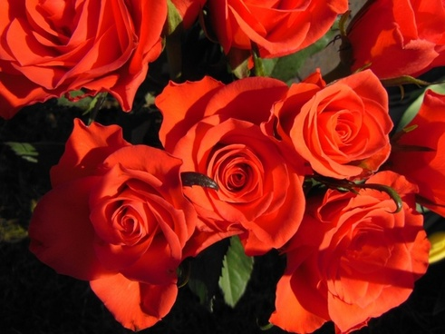 plants roses red roses