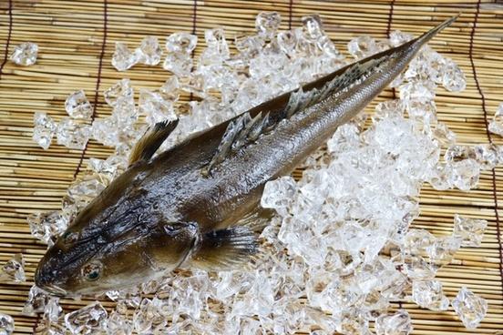 platycephalusfish