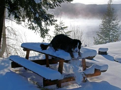 playing dog bernese mountain dog