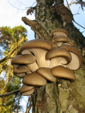 pleurotus ostreatus japan tree