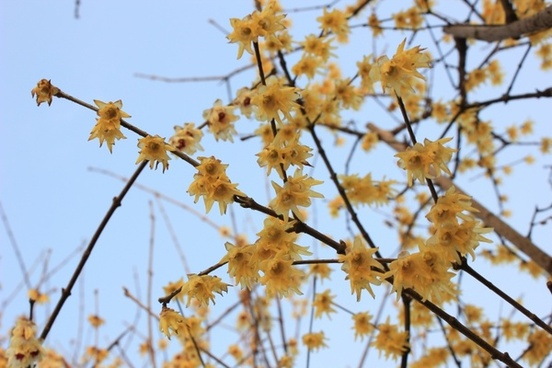 plum blossom spring germination