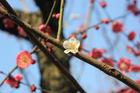 plum blossom spring pink