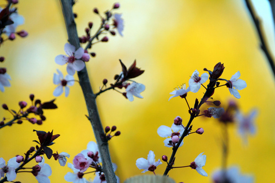 plum blossoms dressed in yellow
