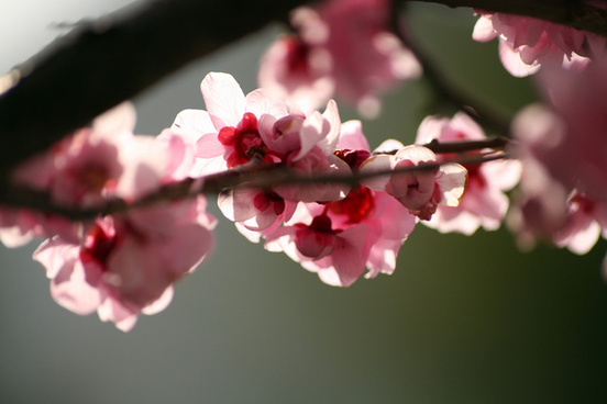 plum blossoms in january