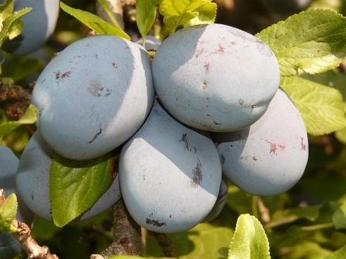 plum fruit blue
