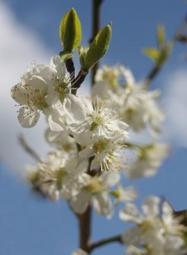 plum plum blossom sky