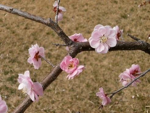 plum plum blossoms spring