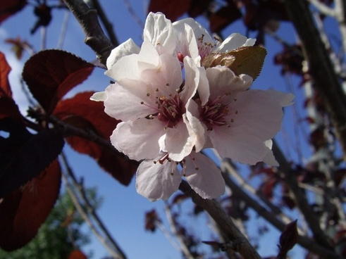 plum tree flower