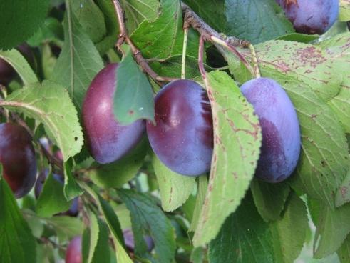 plums cultural plum fruit