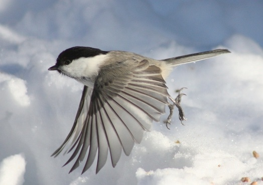 poecile montanus kittila bird flying