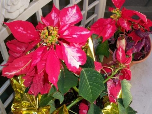 poinsettas christmas flowers