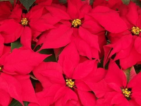 poinsettias flowers christmas