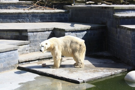 polar bear animal predator