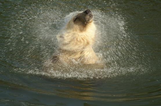 polar bear hybrid bear animal