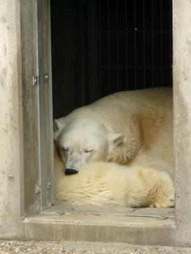 polar bear zoo fur