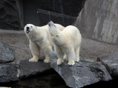 polar bears bear pets