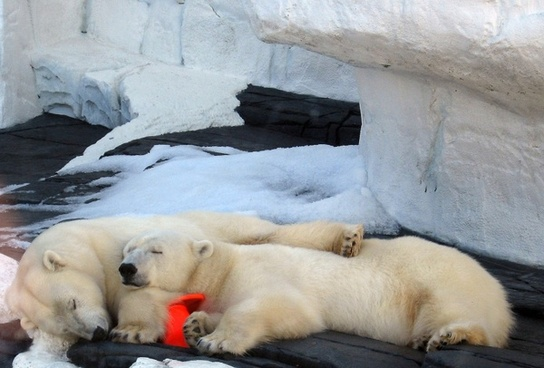 polar bears sleep