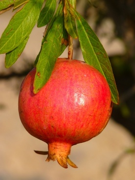 pomegranate grenadine fruit