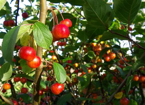 pommes pommes et encore pommes explore