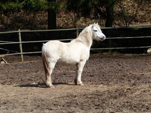 pony horse pleasure horse