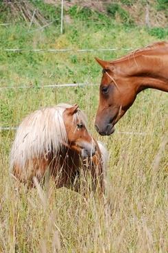 pony horse shetland pony