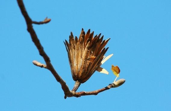 poplar seed tulip poplar last stage