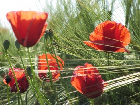 poppies and wheat composition