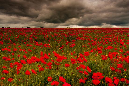 poppy field chollerford