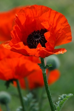 Poppy flower images free stock photos download 10907 free stock poppy flower mightylinksfo