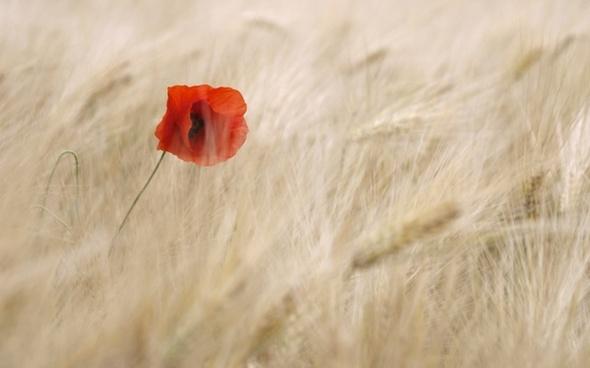 poppy flower cereals