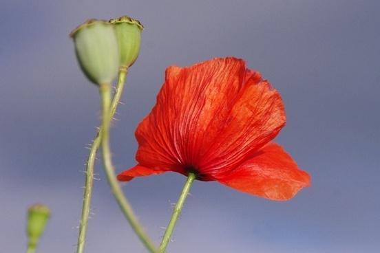 poppy flower red