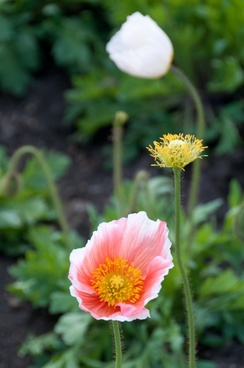 poppy flowers spring