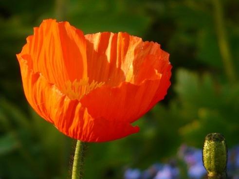 poppy klatschmohn medicinal plant