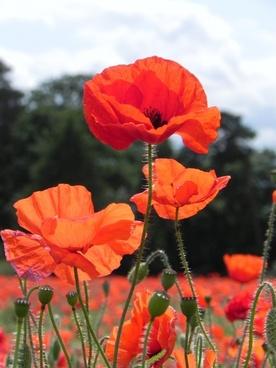 poppy poppies flower