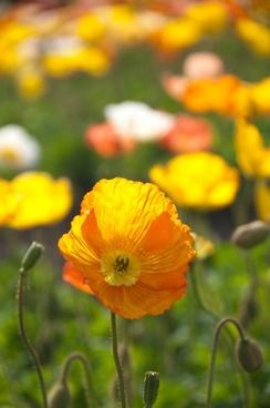 poppy spring flowers