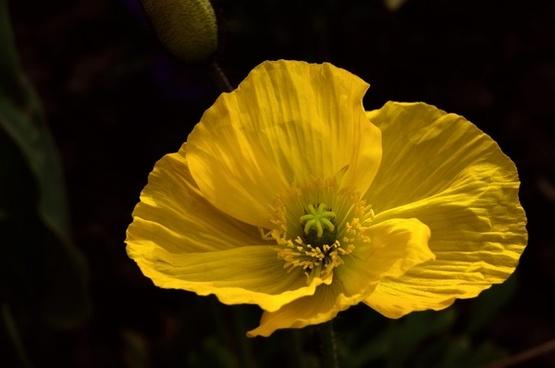 poppy yellow macro