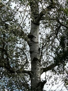 populus alba log bark