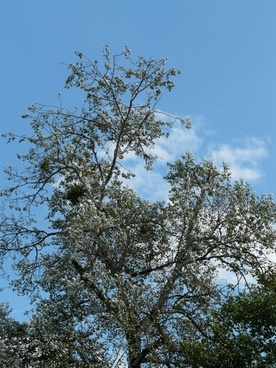 populus alba tree poplar