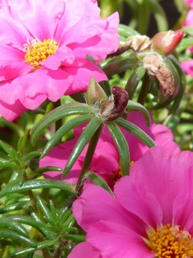 portulaca grandiflora portulakgewaechs portulacaceae