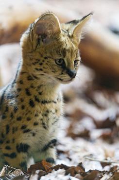 posing baby serval