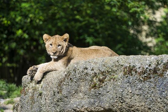 posing lion cub