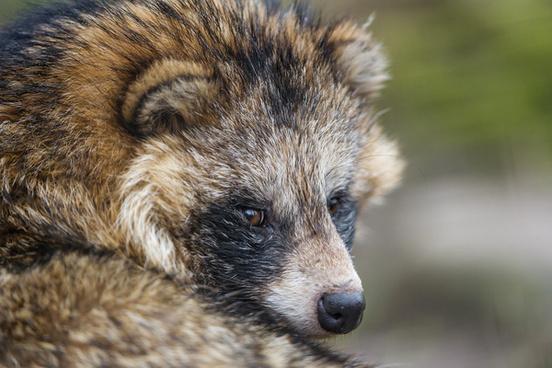 posing raccoon dog