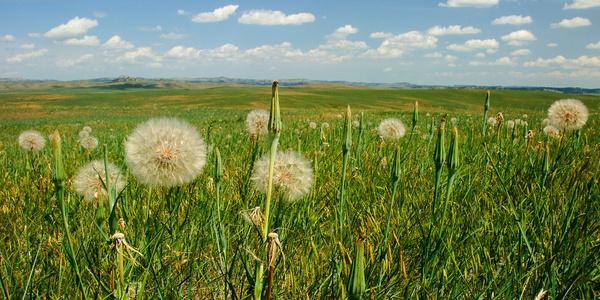 prairie dandelions