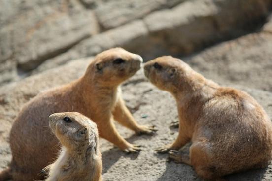 prairie dog animals rodent