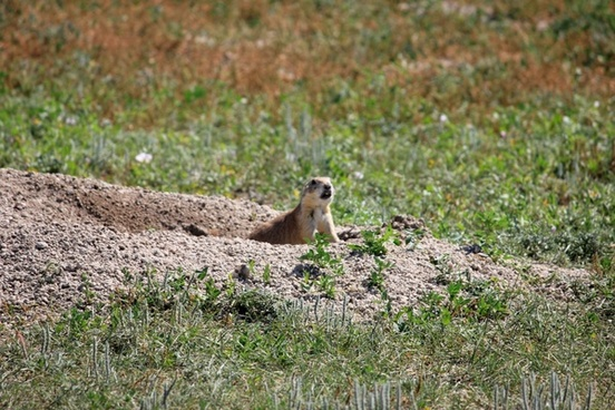 prairie dog coming out of hole at badlands national park south dakota