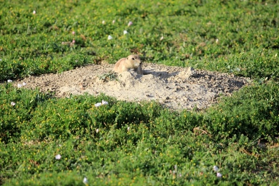 prairie dog coming out of hole at theodore roosevelt national park north dakota