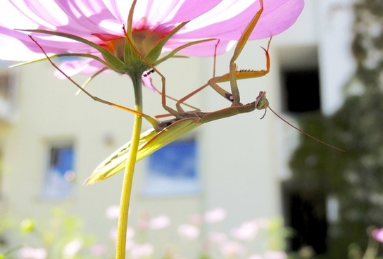 praying mantis insect green