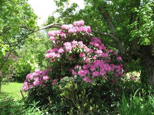 pretty rhododendron